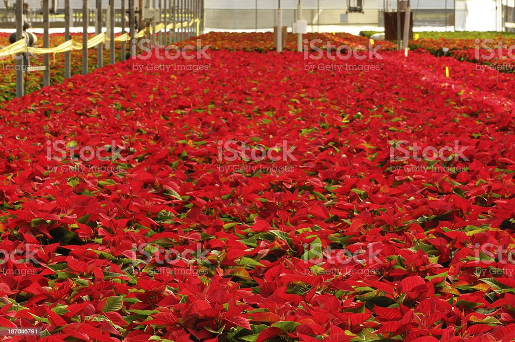 Red Poinsettias Growing in Greenhouse royalty-free stock photo
