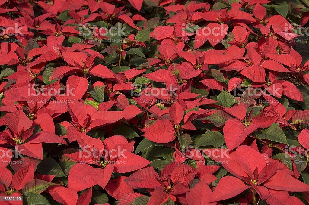 Red Poinsettias stock photo