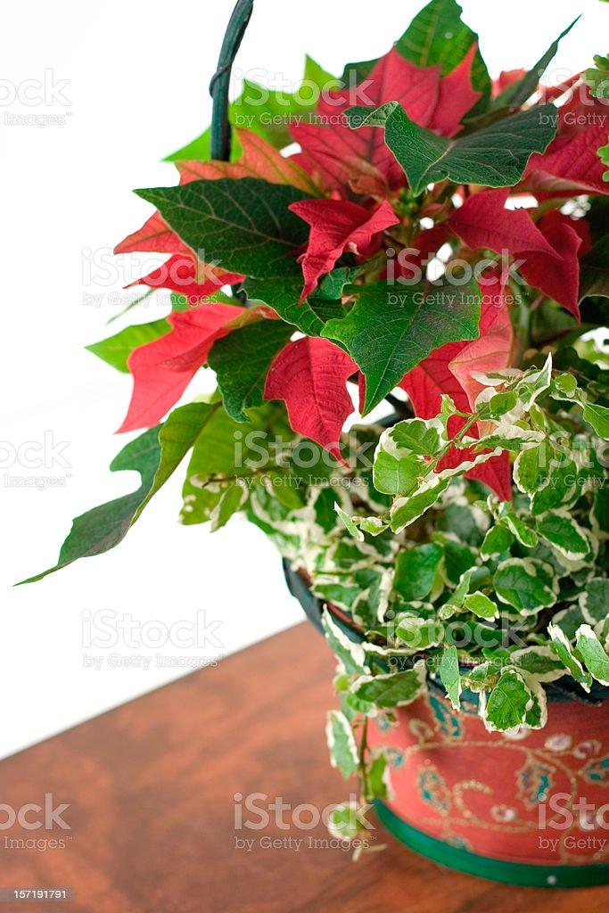 Red Pointsettia stock photo