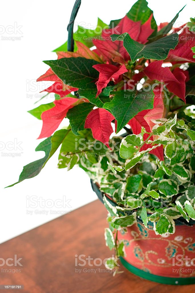 Red Pointsettia stock photo