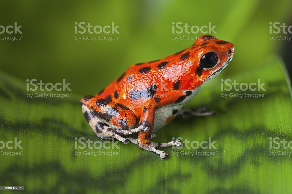 red poison frog stock photo