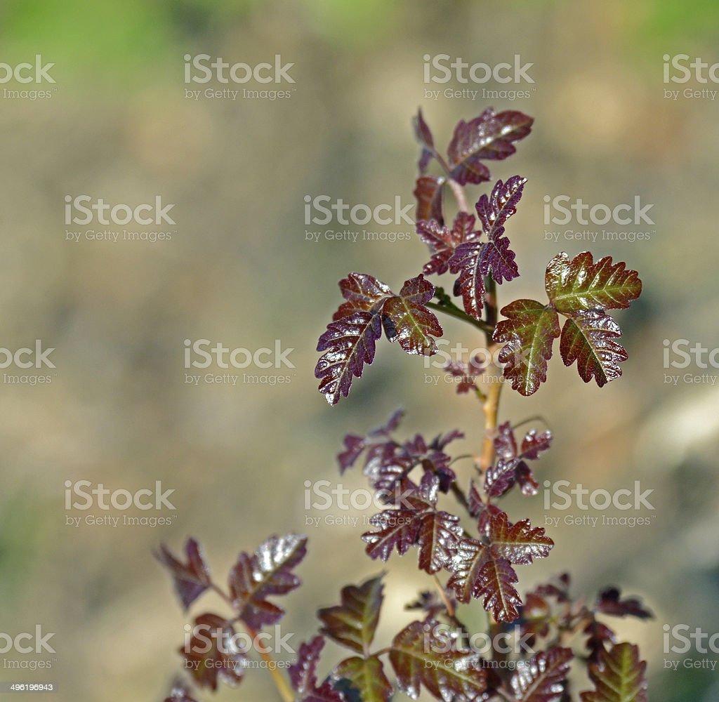 Red Poison Oak Branch stock photo