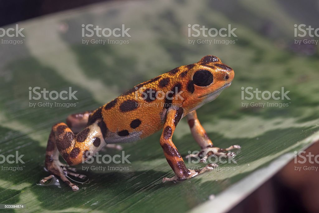 Red Poison-dart Frog stock photo
