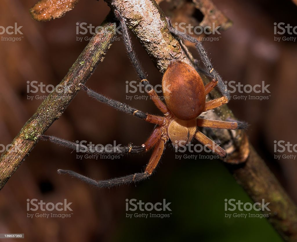 Red poisonous spider royalty-free stock photo