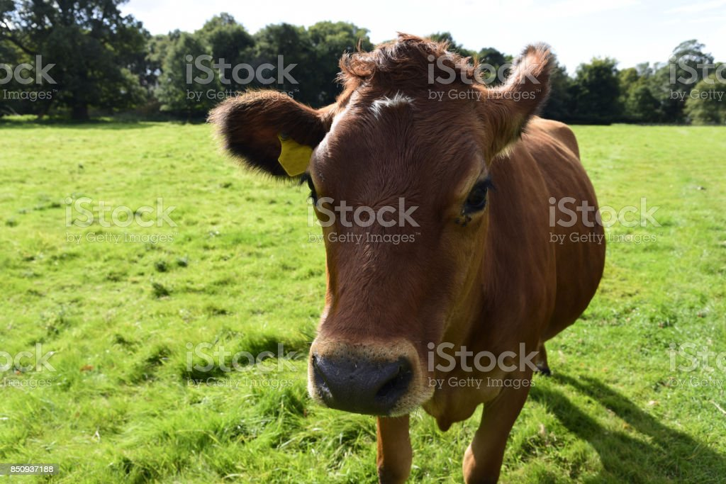 Red Poll Cow stock photo