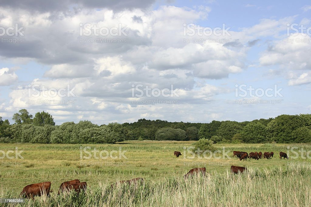 Red Poll on Snape Marshes royalty-free stock photo
