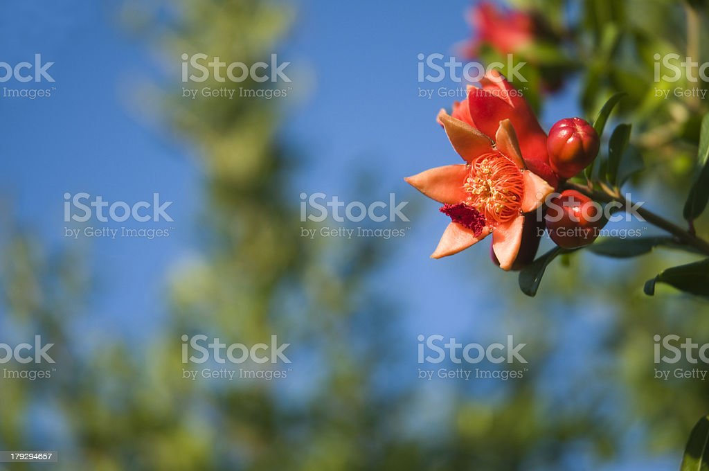 red pomegranate flourish stock photo