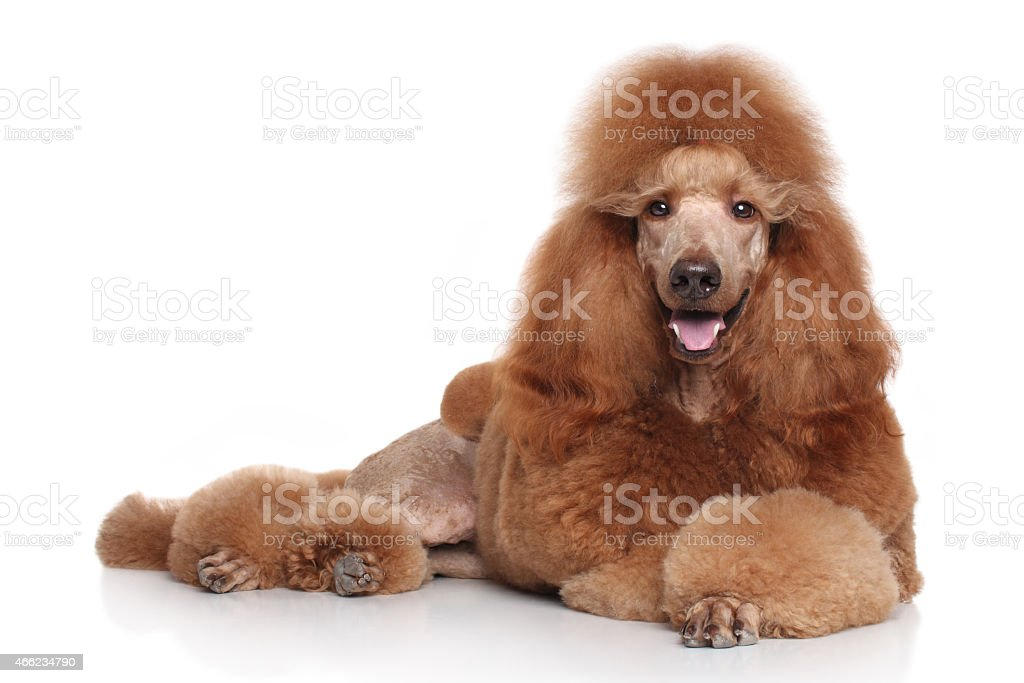 Red Poodle on white background stock photo