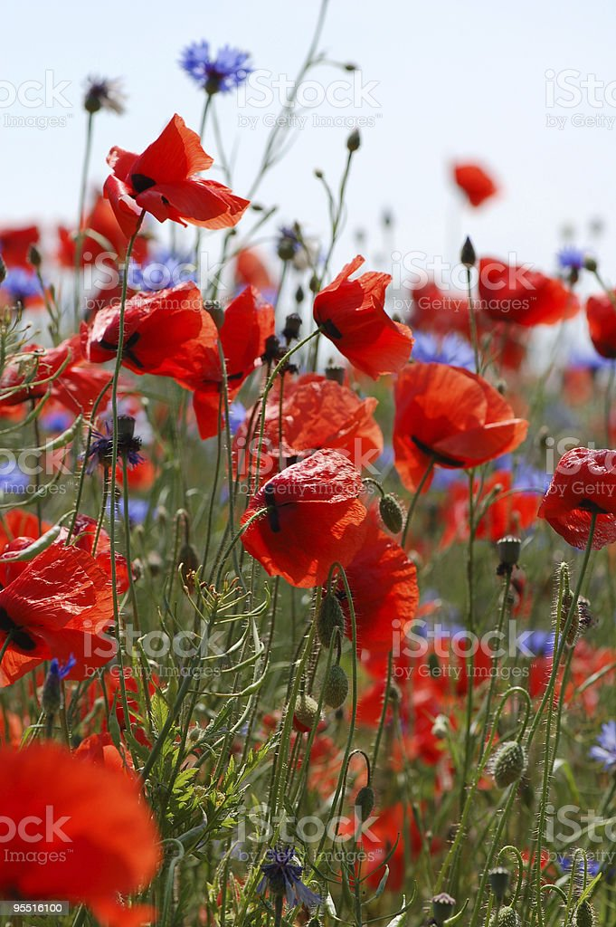 red poppies and blue cornflowers stock photo