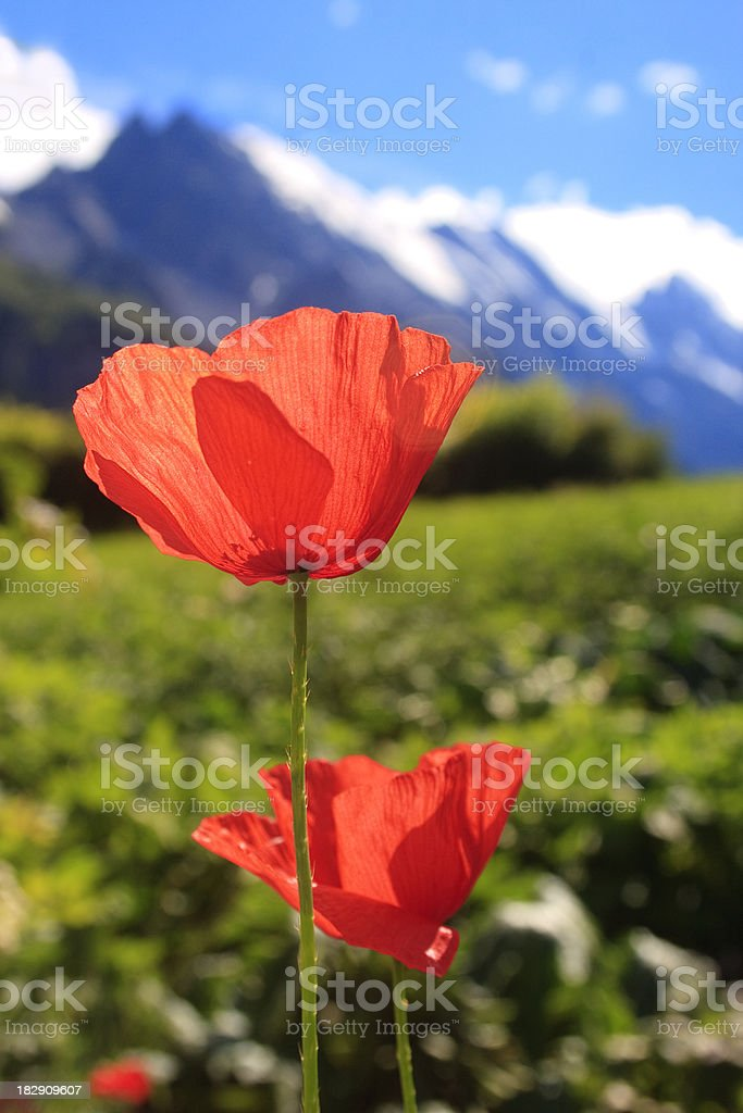 Red Poppies and view of Swiss Alps, Gimmelwald stock photo