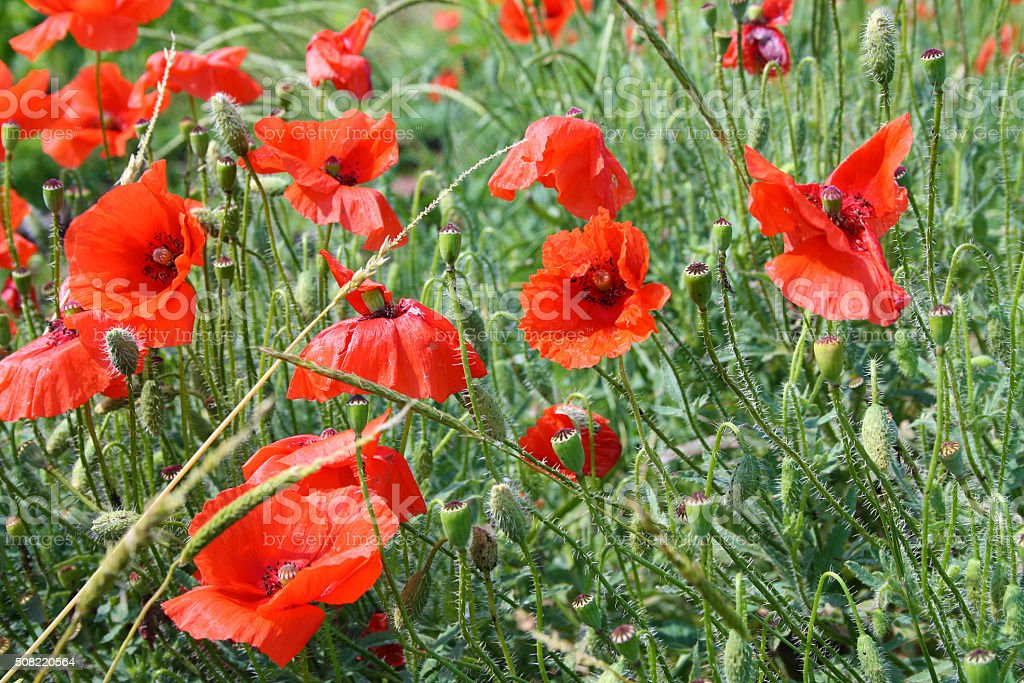 Red poppies blooming stock photo