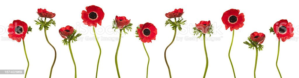 Red Poppies Border (XXXL) stock photo