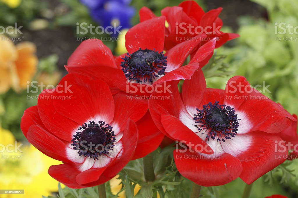 Red poppies closeup royalty-free stock photo