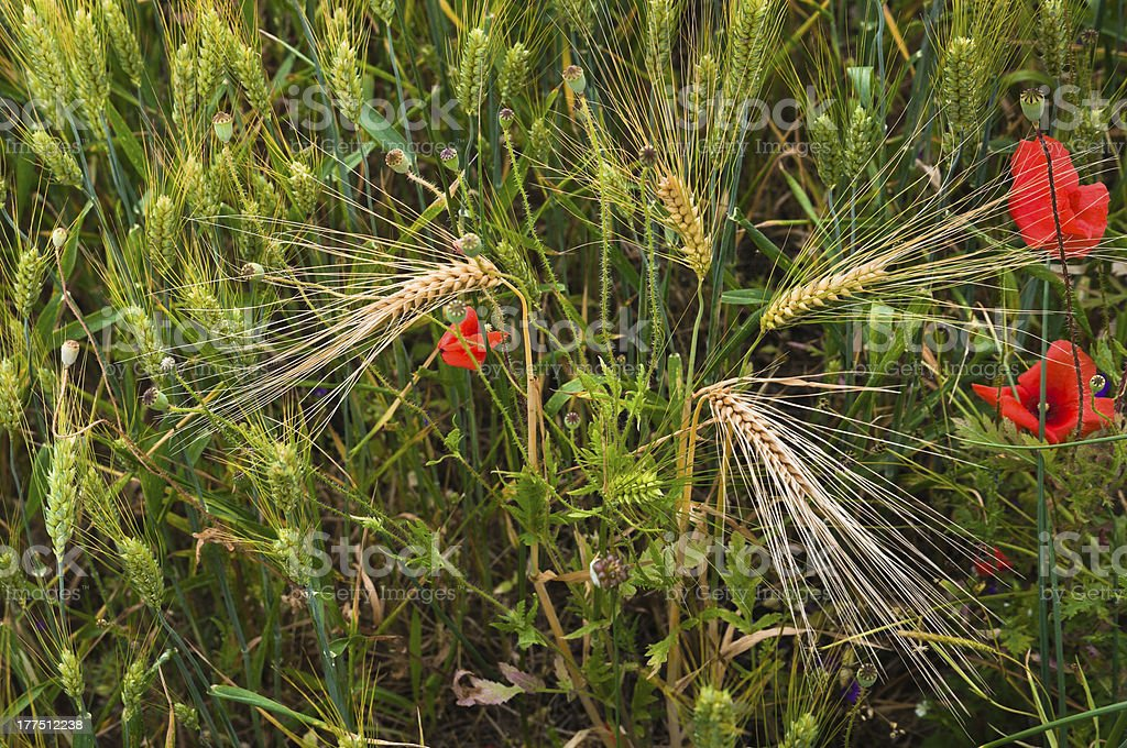 Red poppies ears of wheat on summer meadow royalty-free stock photo