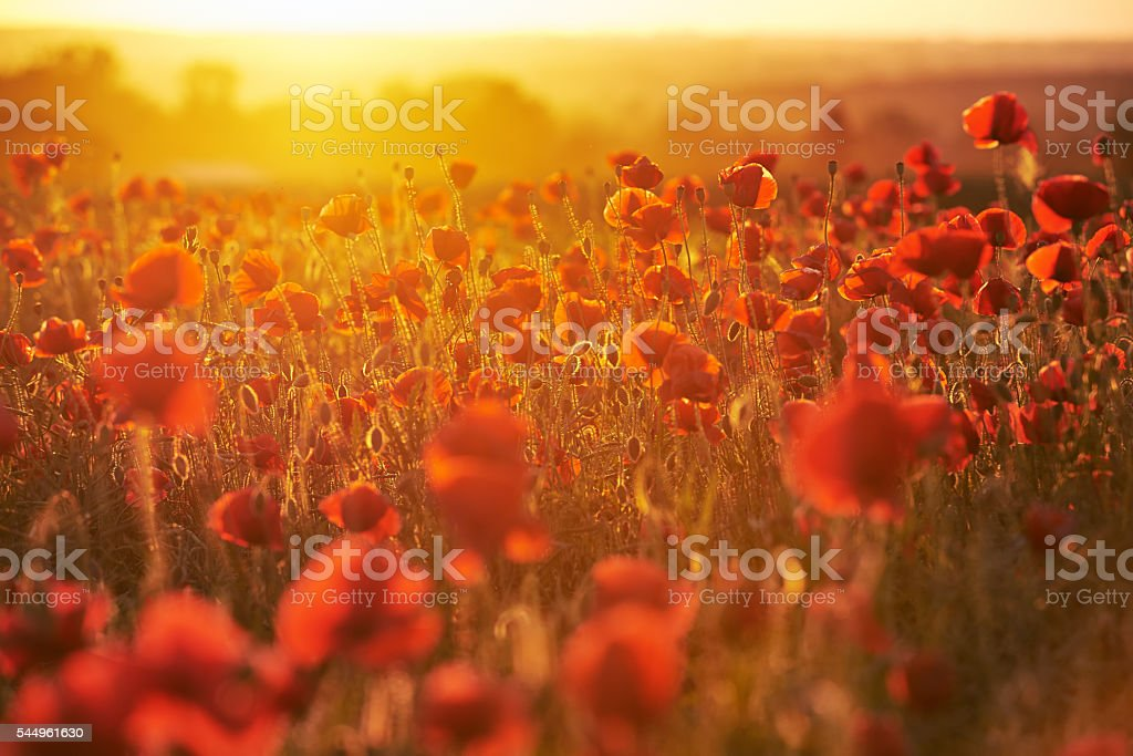 Red poppies field at sunset stock photo