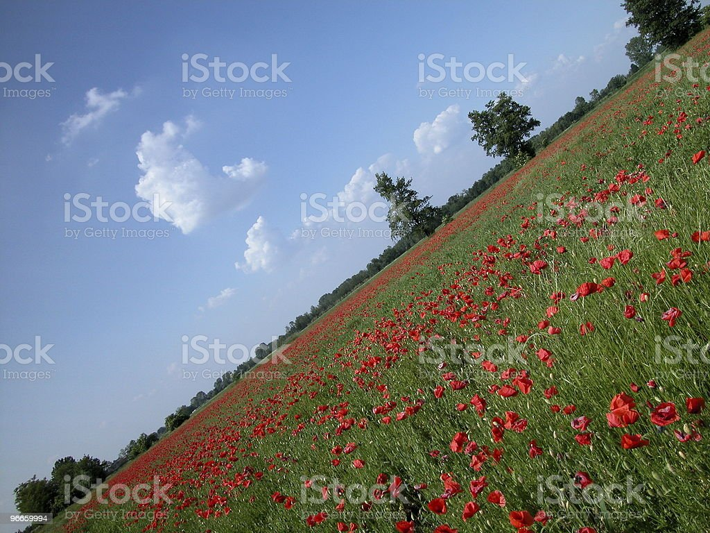 Red poppies field royalty-free stock photo