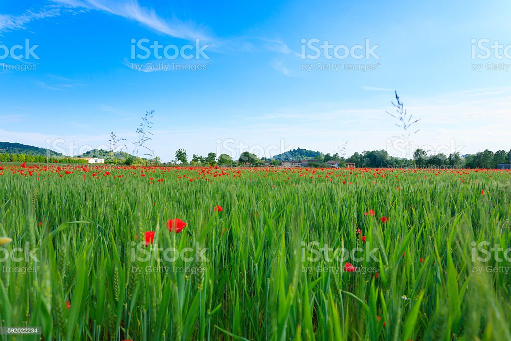 Red poppies field with mountains in background stock photo
