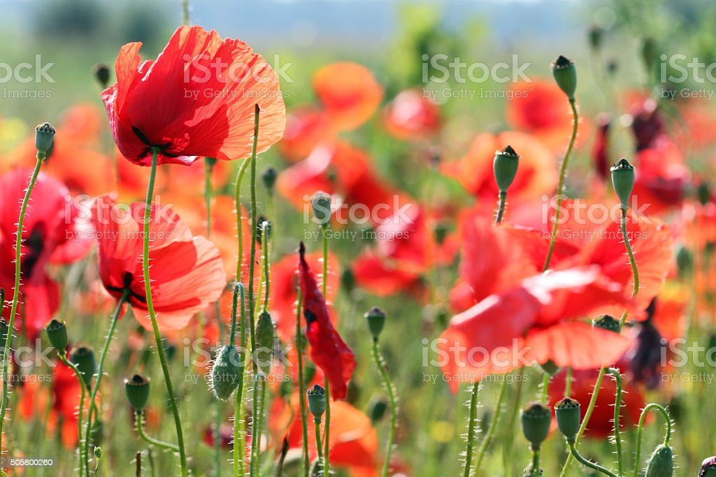 red poppies flower meadow spring season stock photo