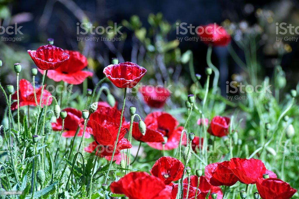 Red poppies garden stock photo