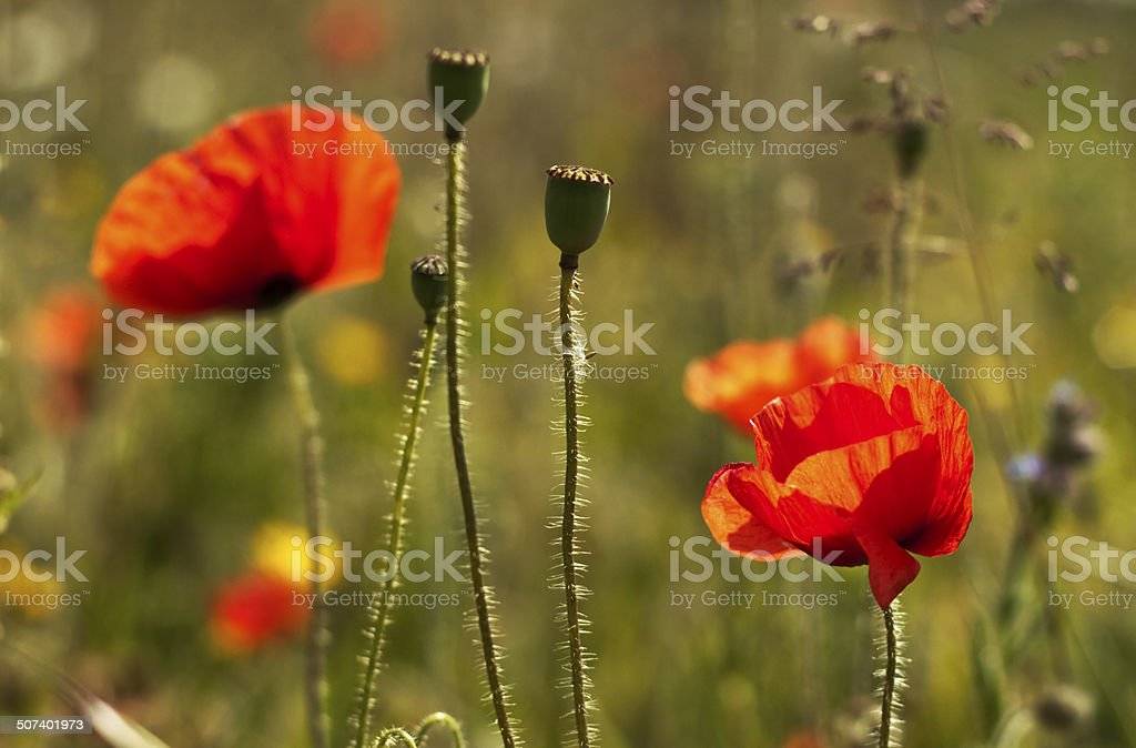 red poppies in a field in the uk stock photo
