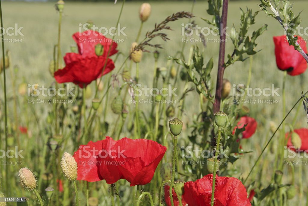 Red poppies in a field royalty-free stock photo