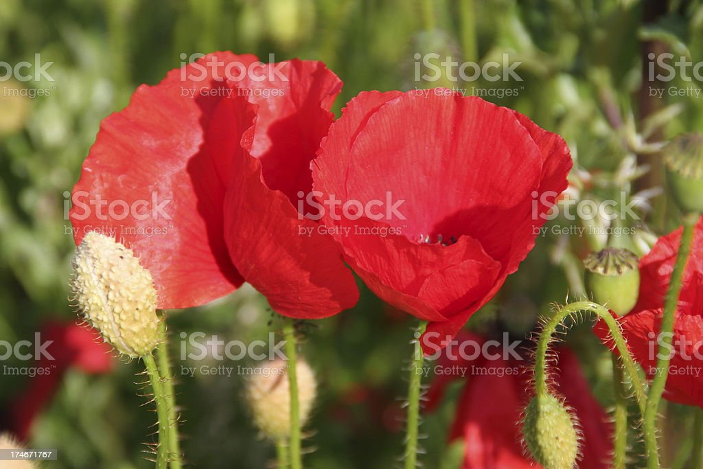 Red poppies in a field stock photo