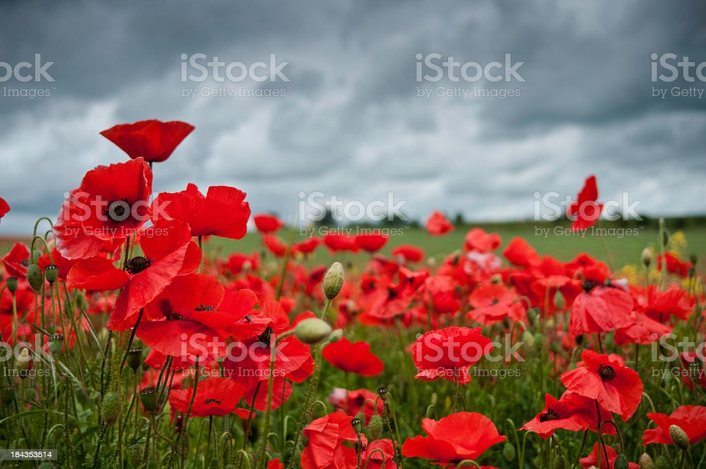 Red poppies in a field with a cloudy sky stock photo
