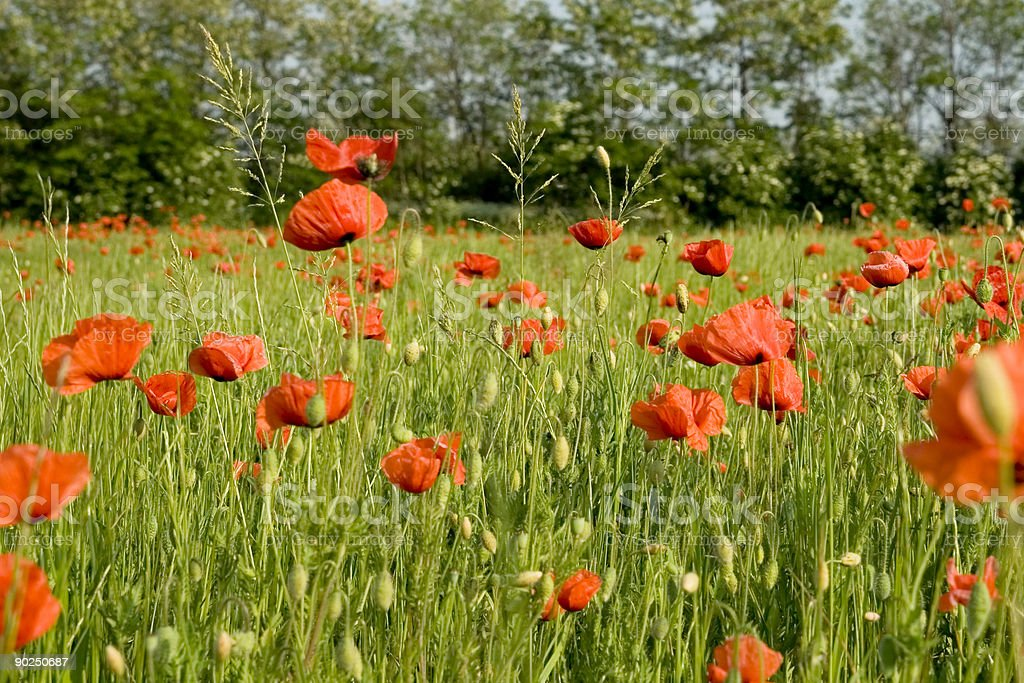 Red Poppies in a Green Field, Wide Angle View stock photo