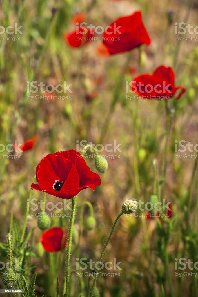 Red poppies in a summer meadow royalty-free stock photo
