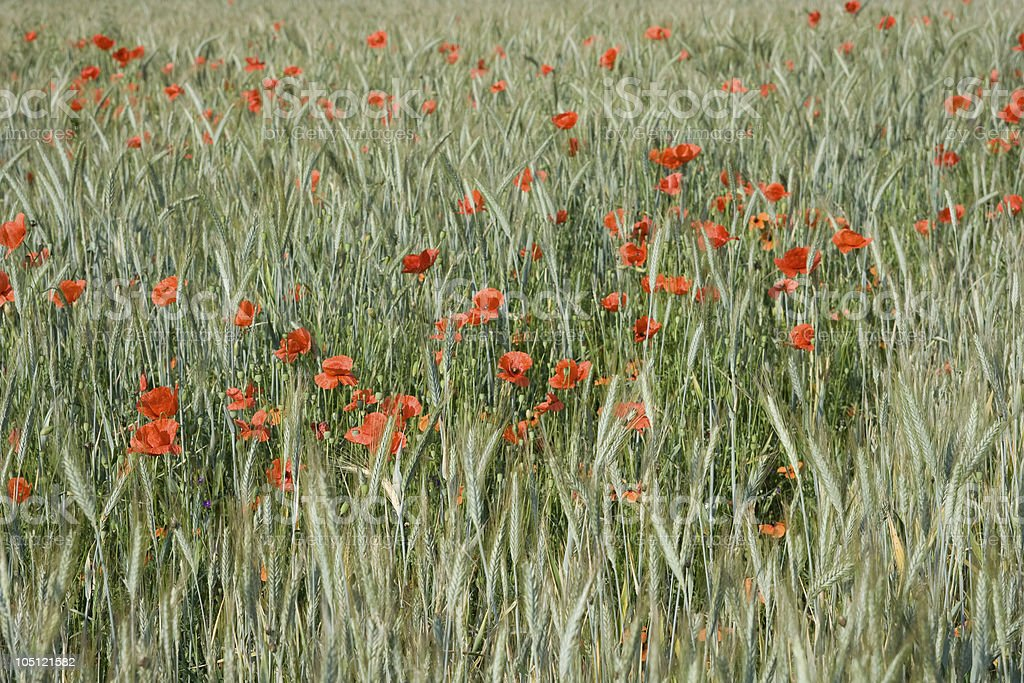 Red Poppies in a Wheat Field, Wide Angle View stock photo