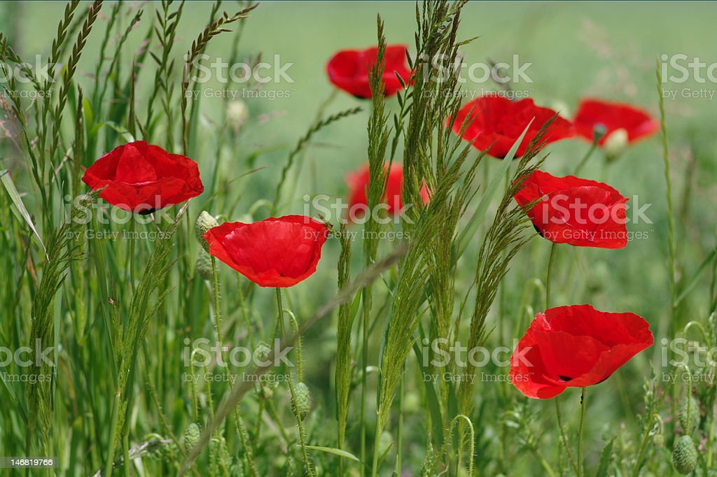 red poppies in field royalty-free stock photo