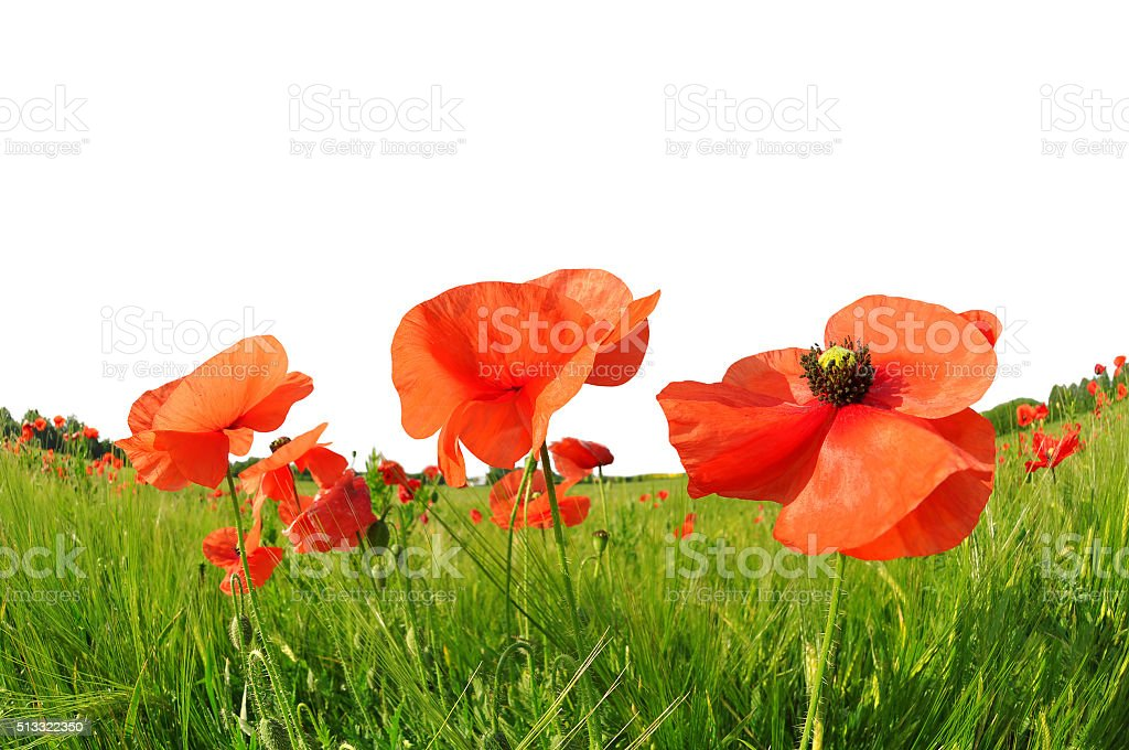 Red poppies in green barley field. stock photo