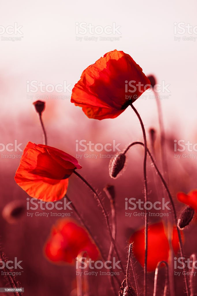 Red Poppies in Meadow royalty-free stock photo