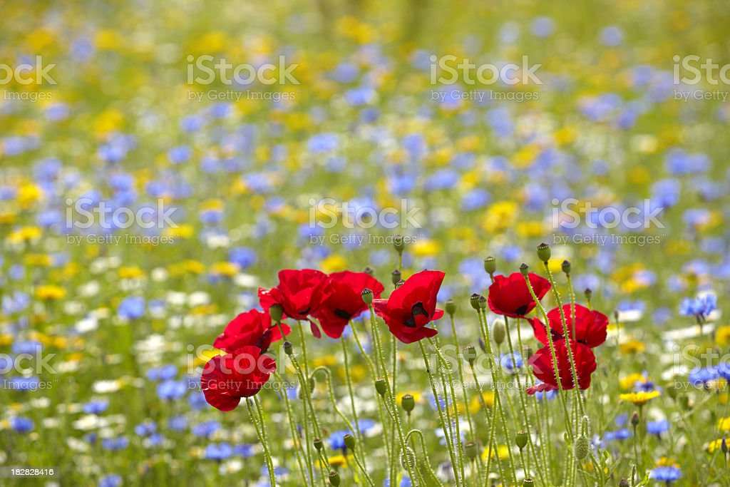 red poppies in summer flower meadow royalty-free stock photo