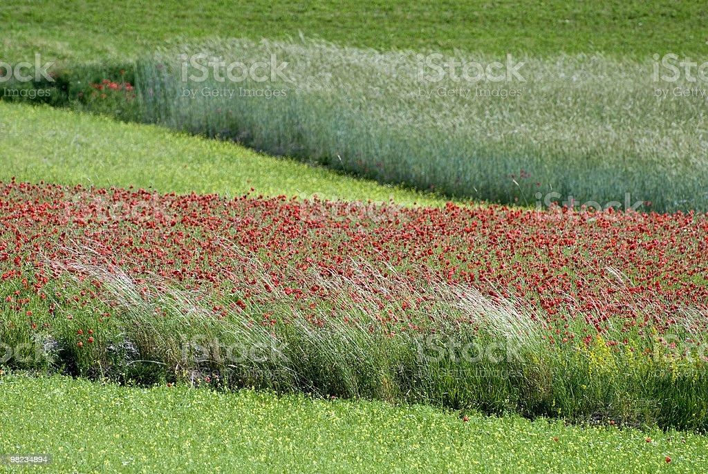 Red poppies in the Piana di Castelluccio stock photo