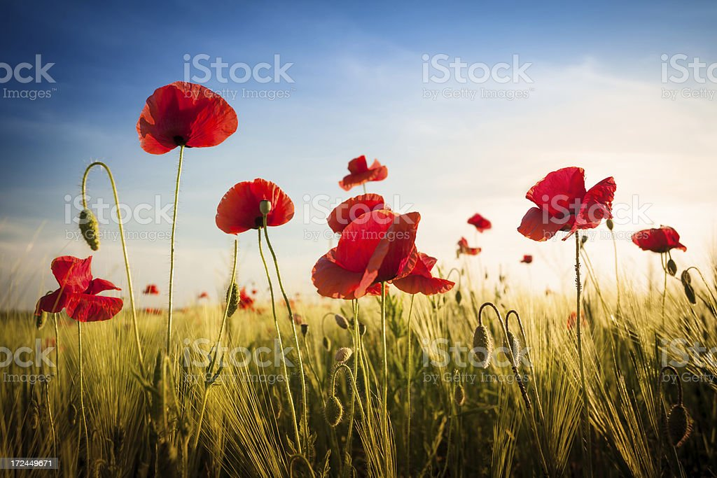 Red Poppies in Wheat Field - Sunset Landscape stock photo