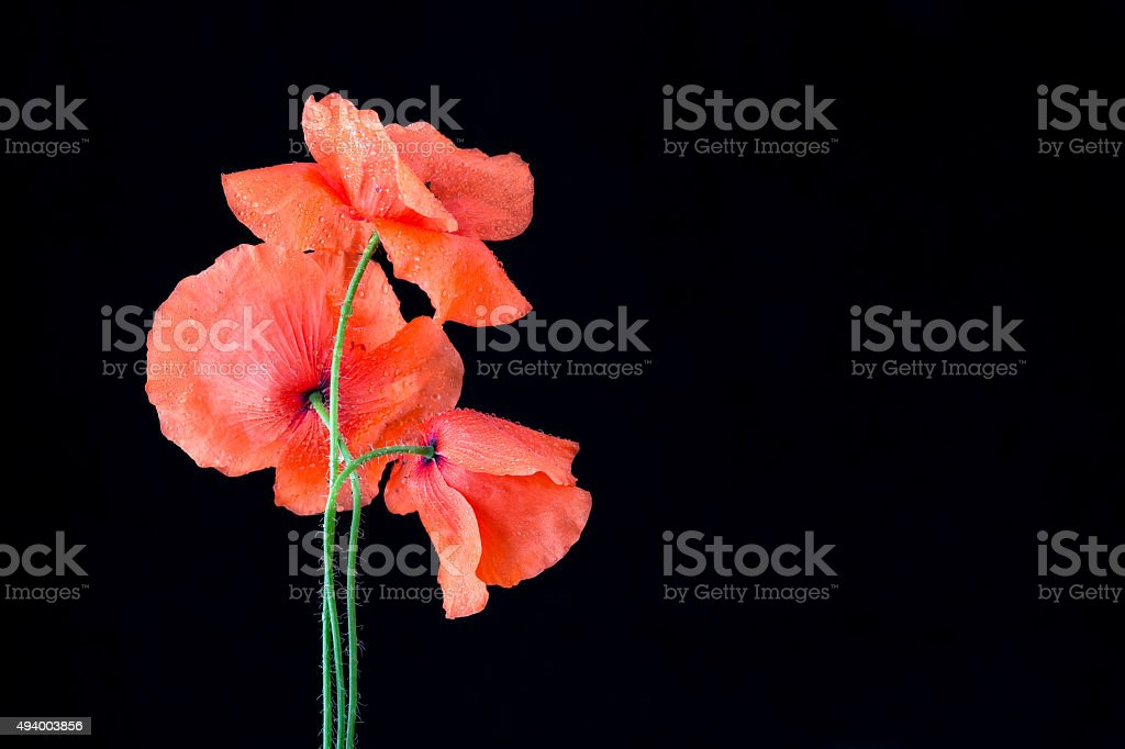 red poppies isolated on black royalty-free stock photo
