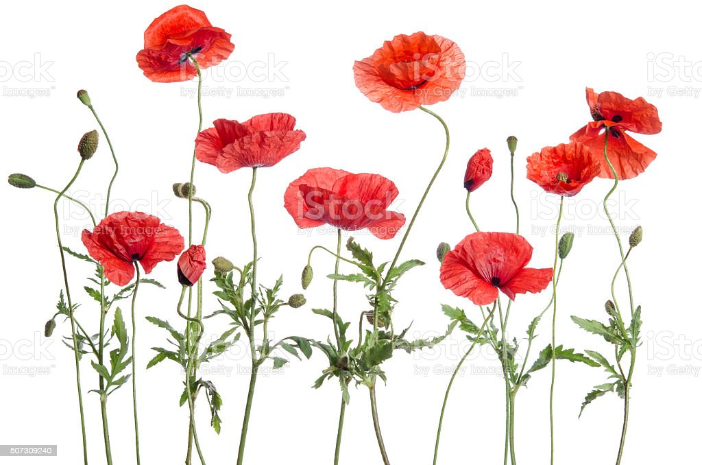 red poppies isolated on white background stock photo