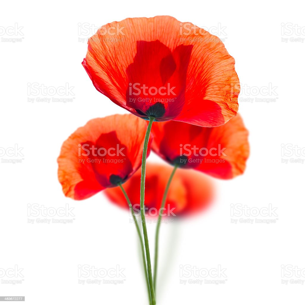 Red poppies isolated on white stock photo