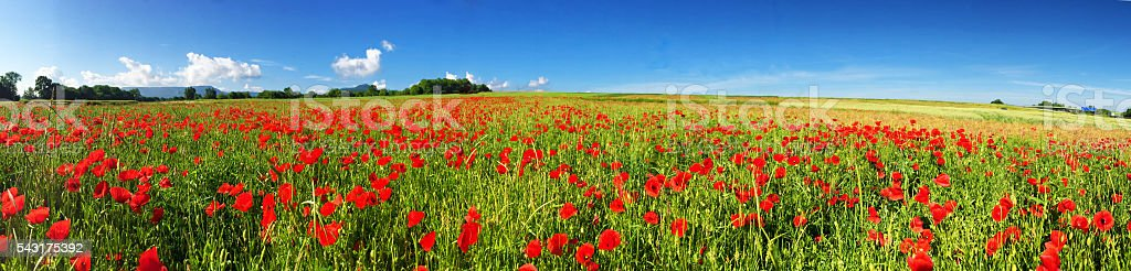 Red poppies on a field - panoramic photo stock photo