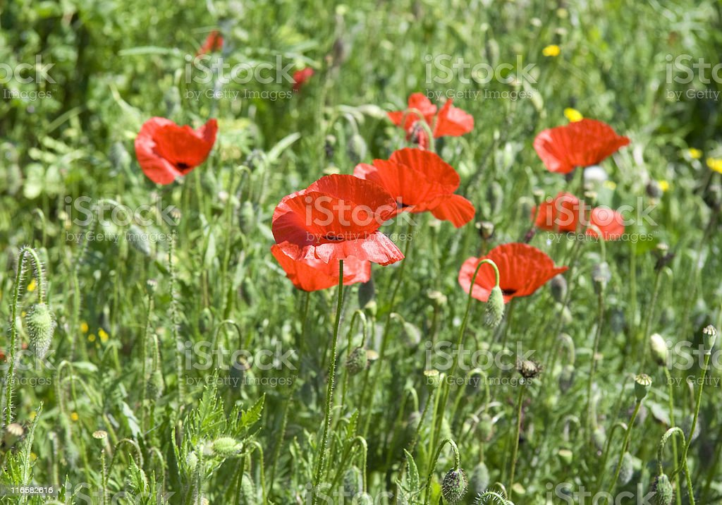 red poppies on a meadow royalty-free stock photo