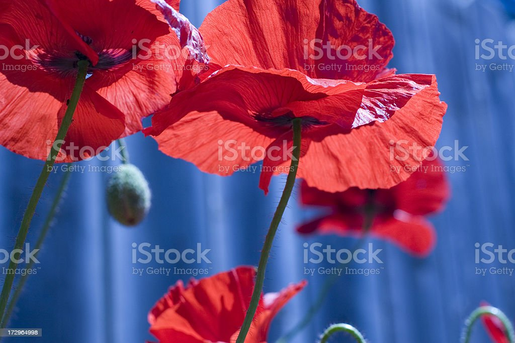 Red Poppies on Blue royalty-free stock photo