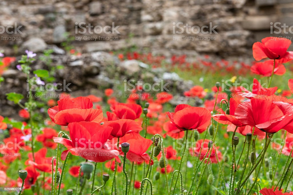 Red poppies on brick background stock photo