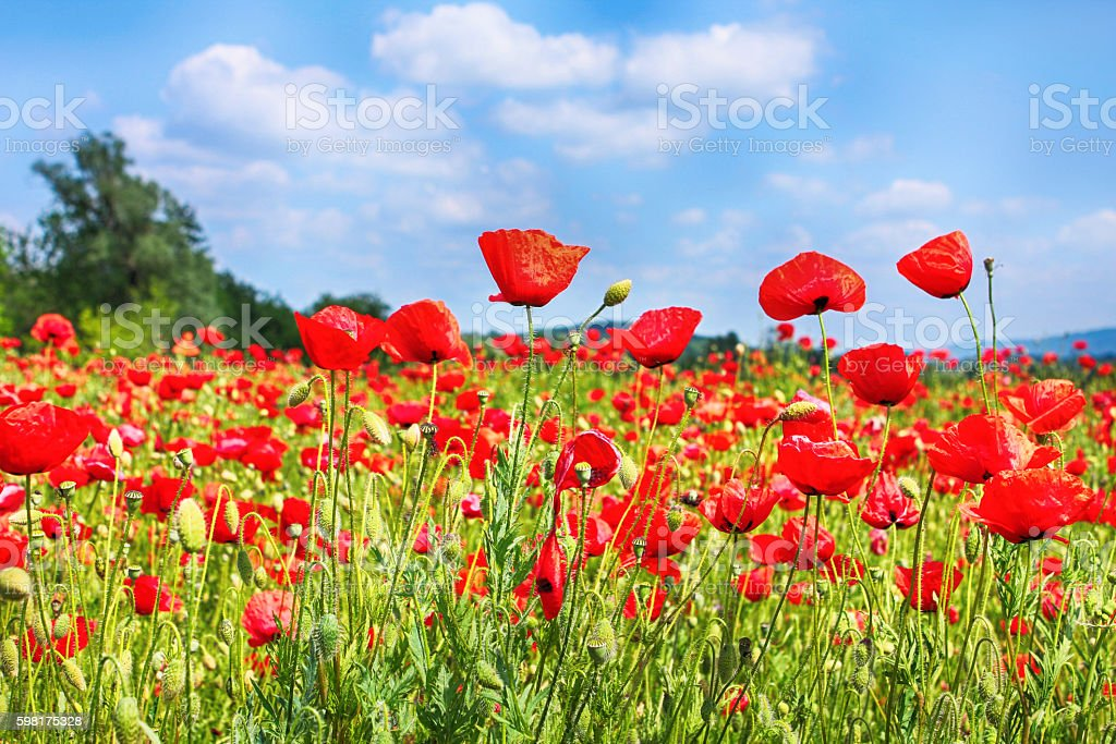 Red poppies on green field landscape stock photo