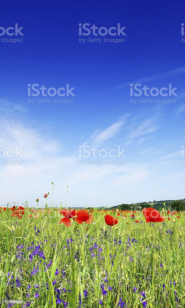 Red poppies on meadow, blue sky and white clouds royalty-free stock photo