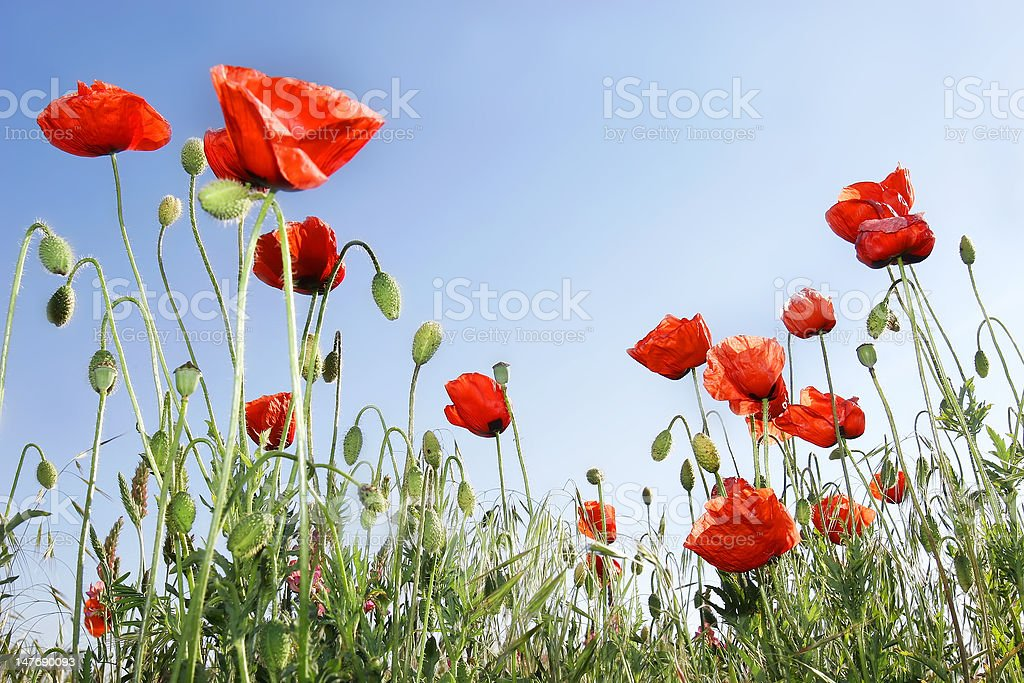 red poppies on sky background royalty-free stock photo