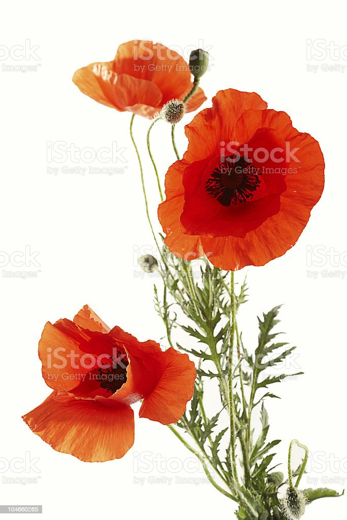 Red poppies on white background royalty-free stock photo
