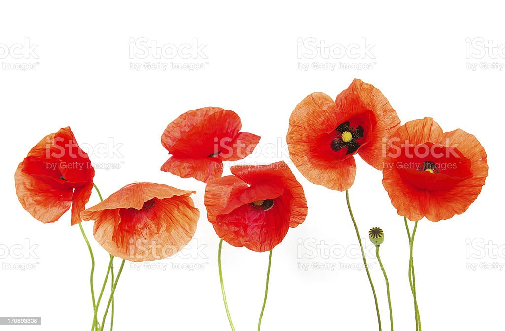 red poppies  on white royalty-free stock photo