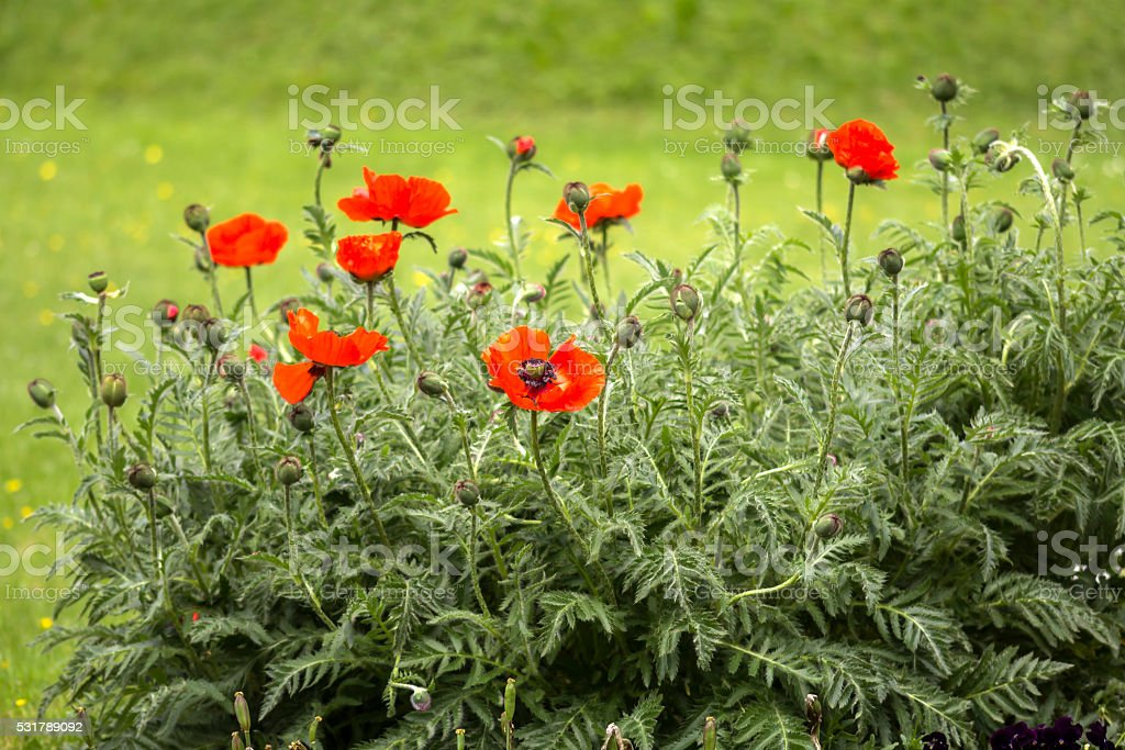 Red poppies Papaveraceae stock photo