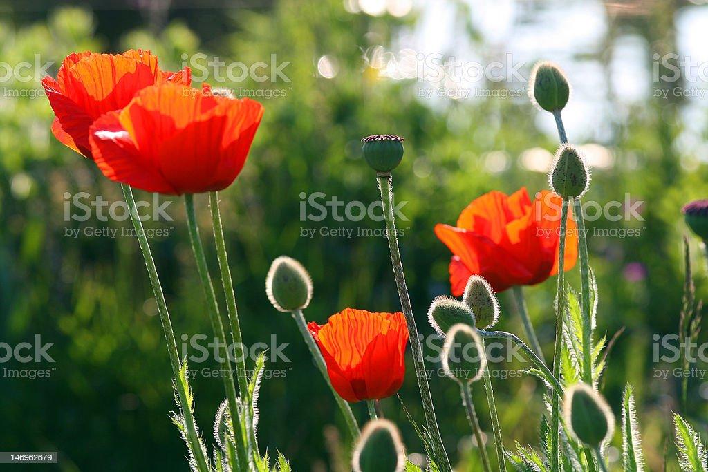 레드 Poppies royalty-free 스톡 사진